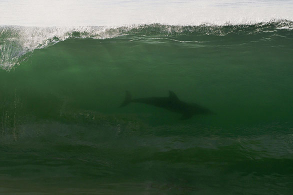 A dolphin swims in a wave...