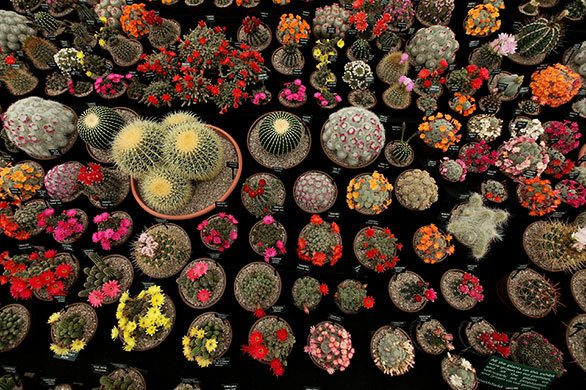Chelsea Flower Show Cacti